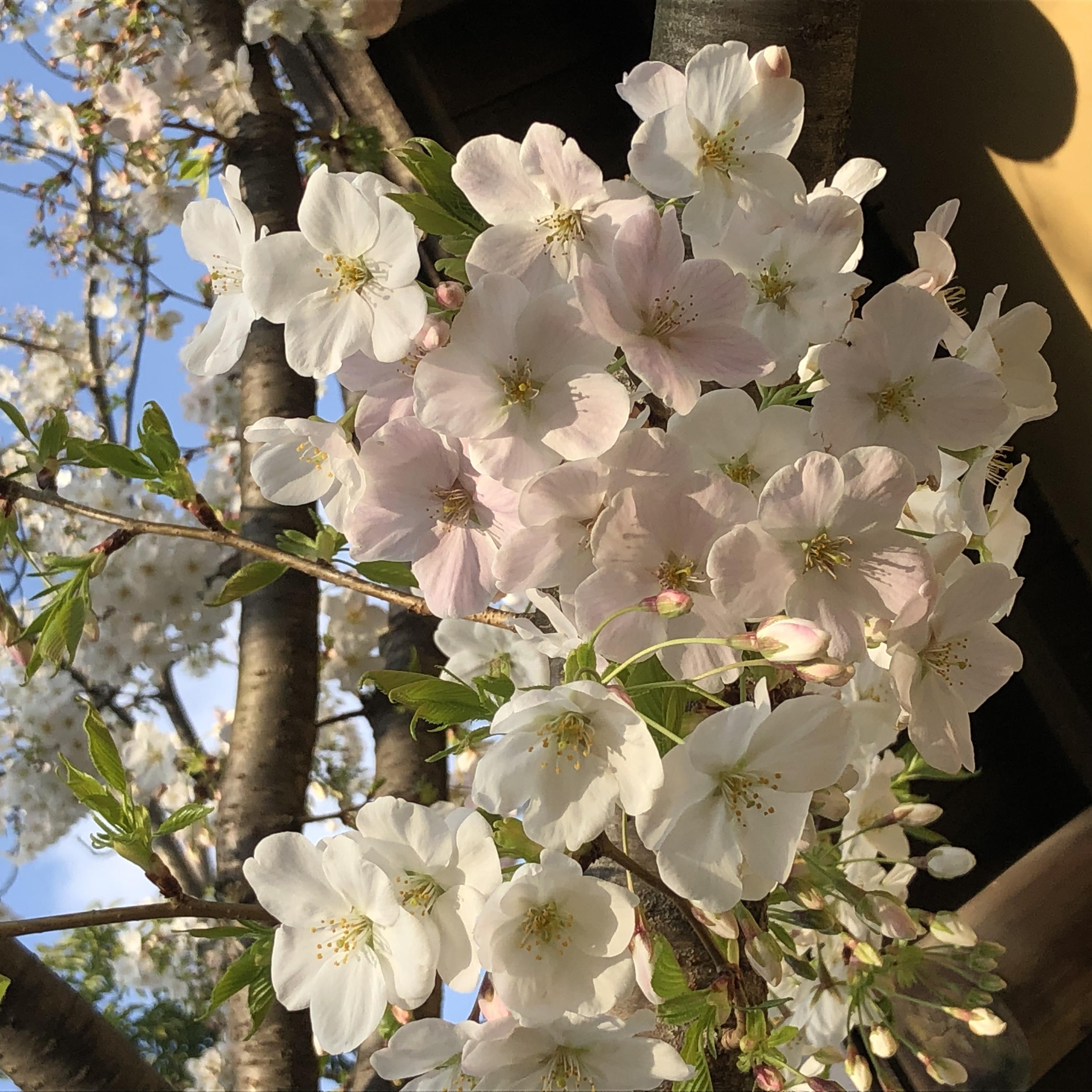 桜が開花しましたね♡4月の店休日お知らせ…